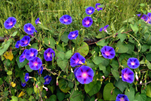 morning glory are blooming in the outdoor