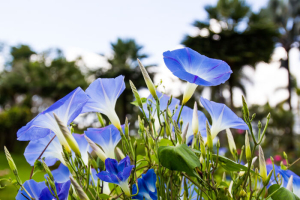 Blue Morning Glory at Mae Fah Luang Gardenlocate on Doi TungThailand